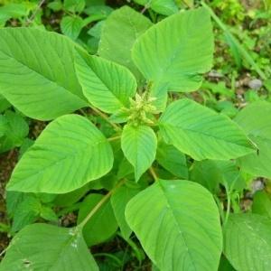 Amaranthus Seeds / Thotakura Seeds
