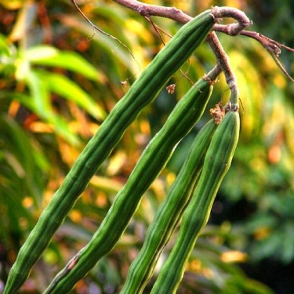 Drumstick Seeds / Munagakaya Seeds