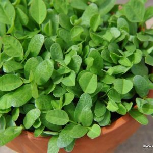 Fenugreek Seeds / Methi Seeds