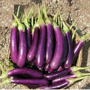 Long Purple Brinjal / Vankaya Seeds