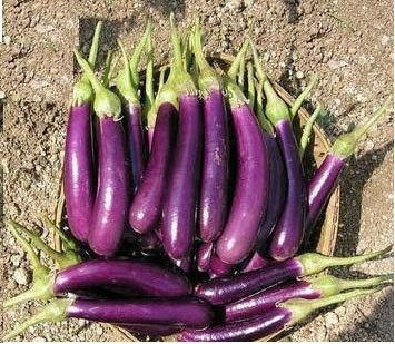 Long Purple Brinjal Seeds / Vankaya Seeds