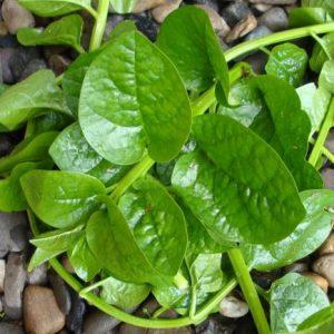 Malabar Spinach / Bachali Kura Seeds