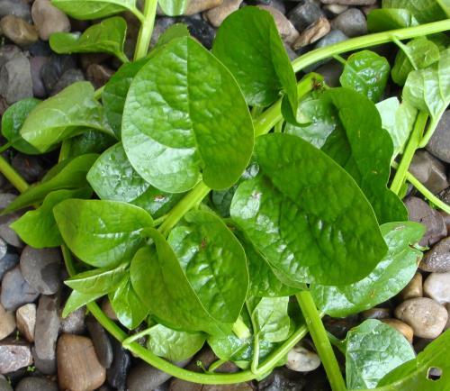 Malabar Spinach Seeds / Bachali Kura Seeds