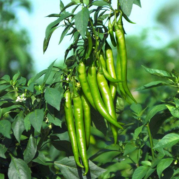 Mirapakaya / Chilli Seeds