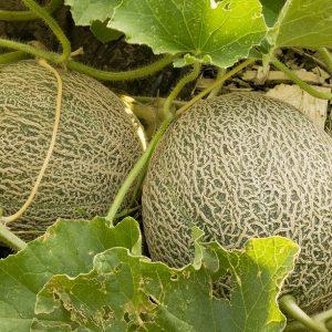 Muskmelon / Kharbuja Seeds