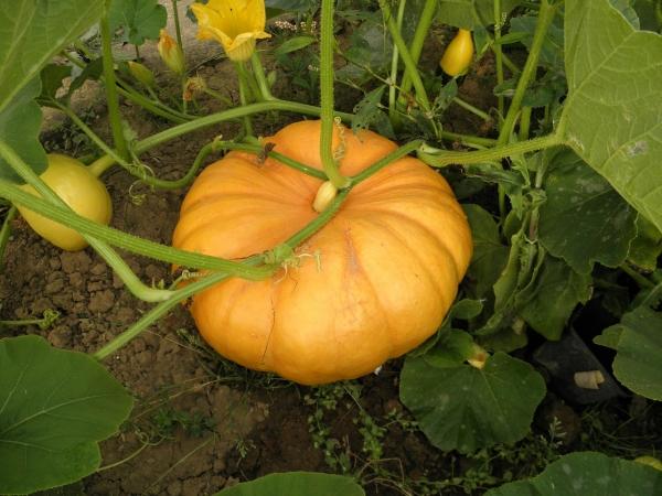 Pumpkin / Gummadikaya Seeds