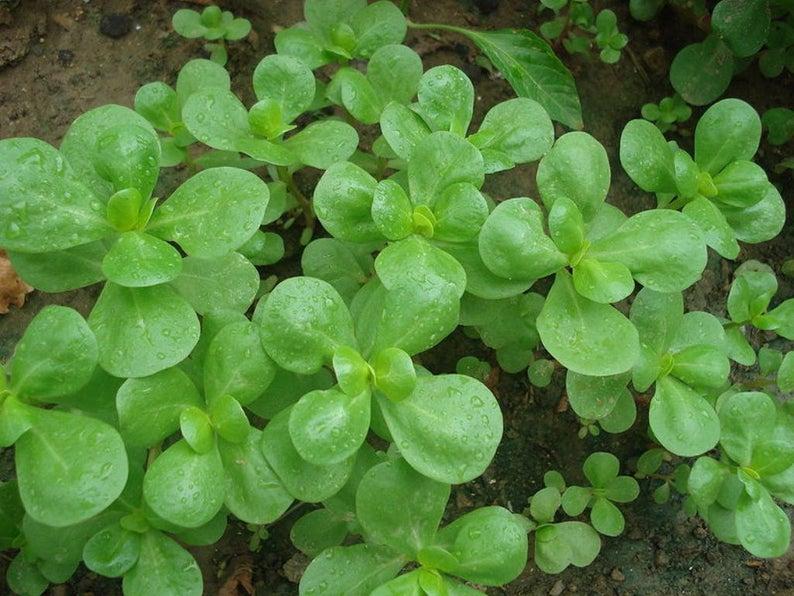 Purslane Seeds / Gangavalli Kura Seeds