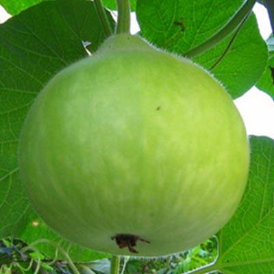 Round Bottle Gourd Seeds / Round Sorakaya Seeds