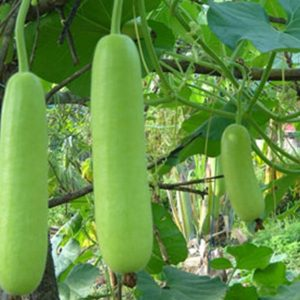 Sorakaya / Bottle Gourd Seeds