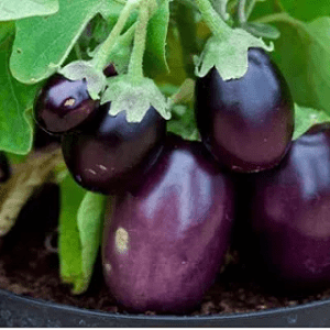 Brinjal / Vankaya Seeds