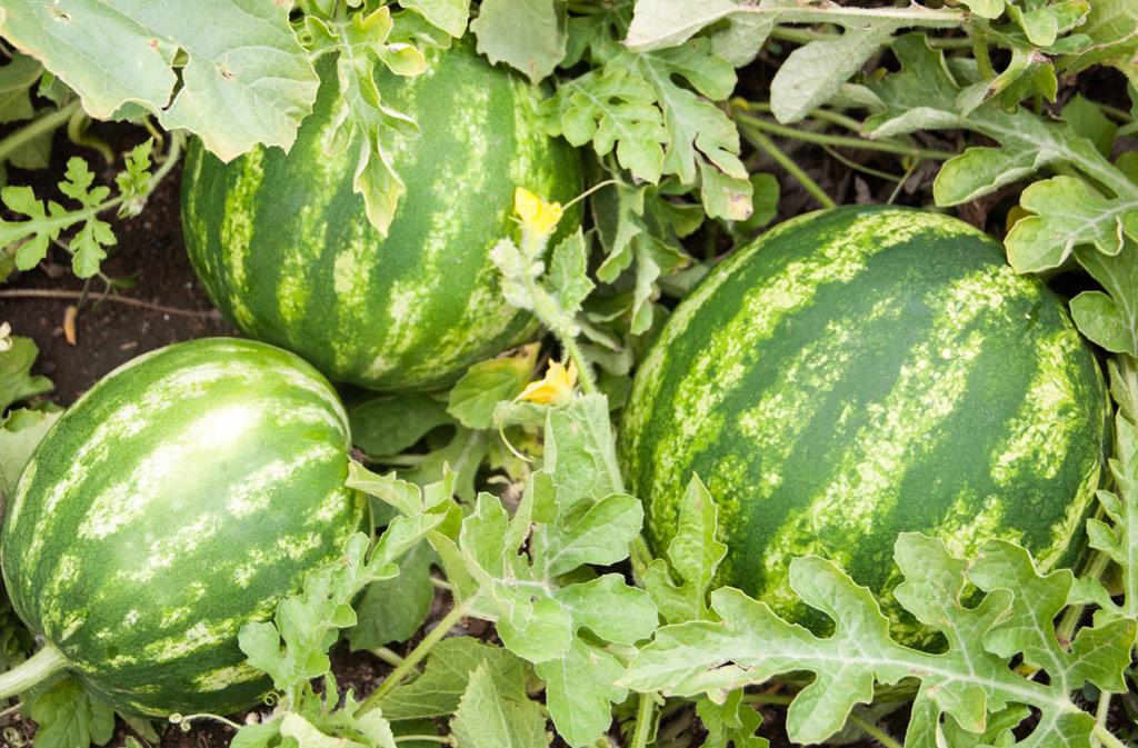Watermelon / Puchakaya Seeds