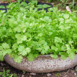 Coriander / Kothimeera Seeds