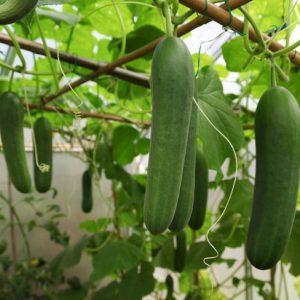Keera Dosakaya / Cucumber Seeds