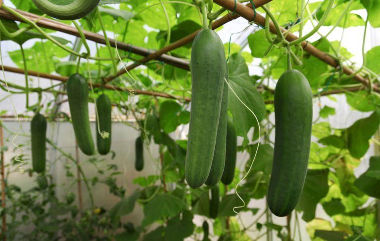 Keera Dosakaya Seeds / Cucumber Seeds
