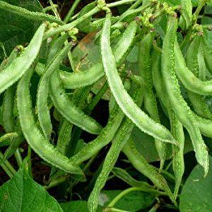 Chikkudukaya / Dolichos Seeds