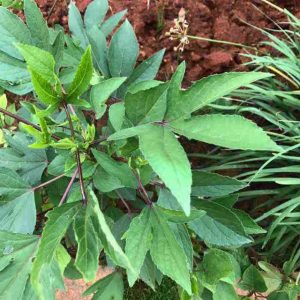 Red Roselle Seeds / Erra Gongura Seeds