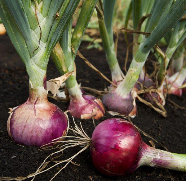 Onion / Ullipaya Seeds