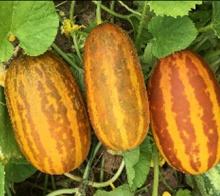 Punasa Dosakaya / Sambar Cucumber Seeds