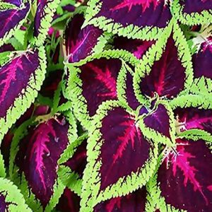 Coleus Rainbow Mixed Flower Seeds