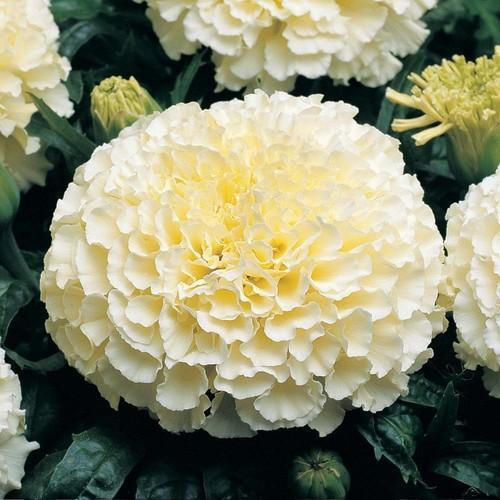 African Marigold F2 White Flower Seeds