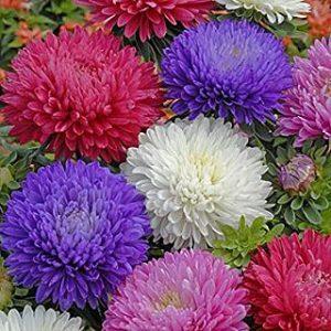 Aster Duchess Formula Mix Flower Seeds