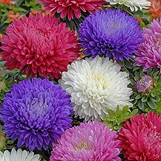 Aster Duchess Formula Mix Flower Seeds