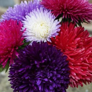 Aster Gala Mixed Flower Seeds