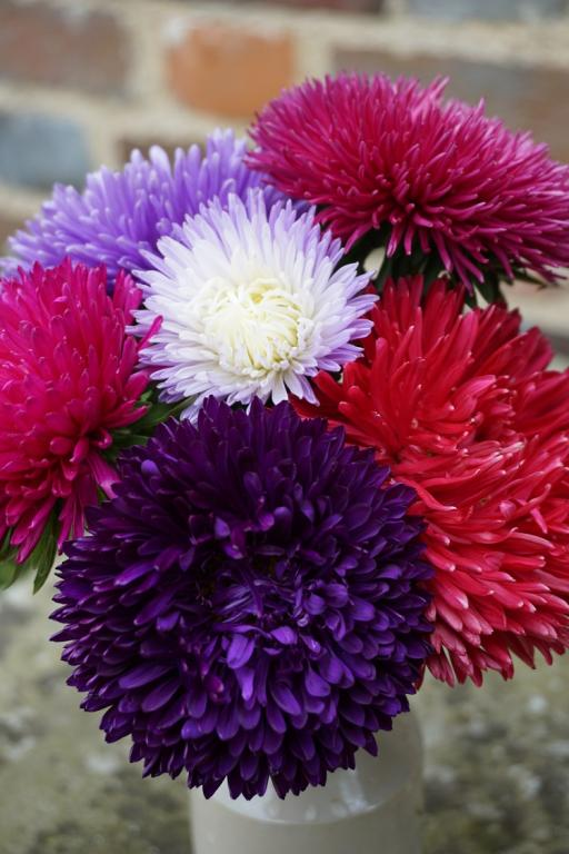 Aster Gala Mixed Flower Seeds