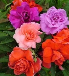 Balsam Double Mixed Color Flower Seeds