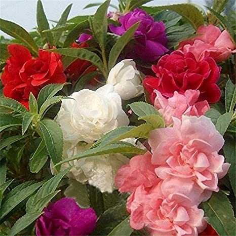 Balsam Tom Thumb Mixed Flower Seeds