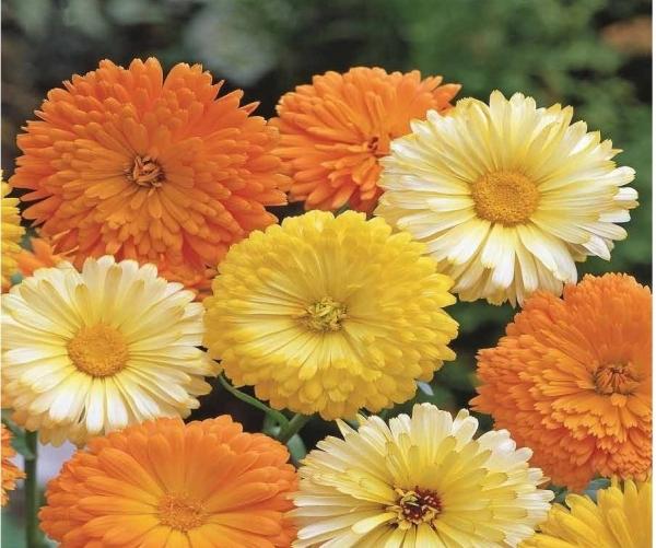 Calendula F G Mix Flower Seeds