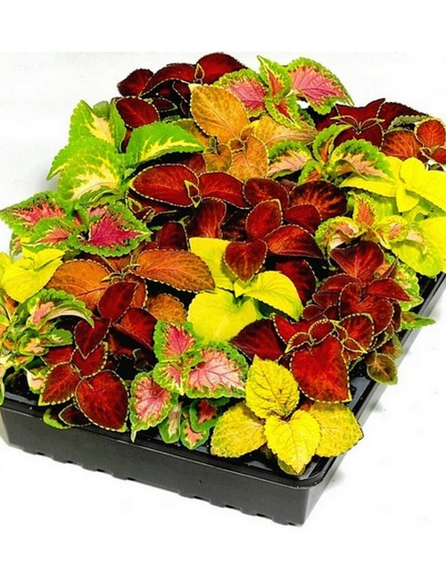 Coleus Rainbow Mixed Flower Seeds