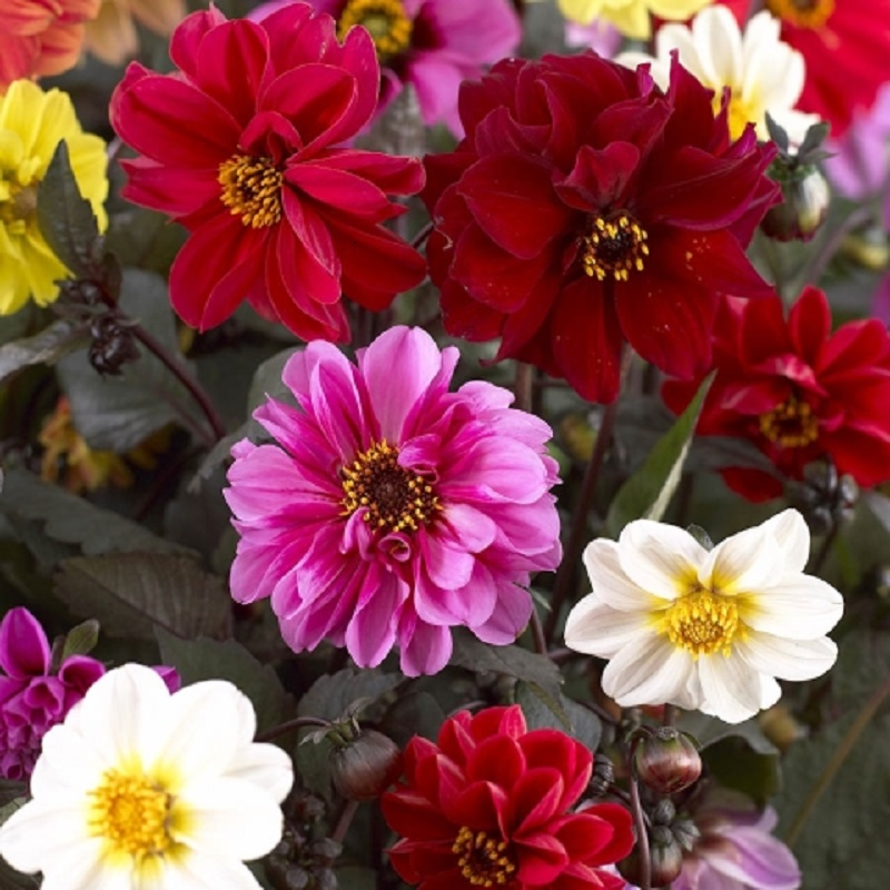 Dahlia Dwarf Red Skin Mixed Flower Seeds