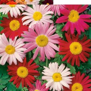 Daisy Double Mixed Flower Seeds