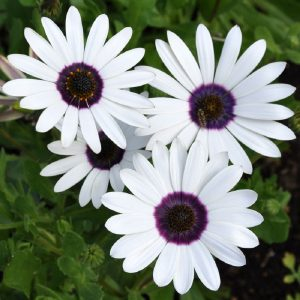 Dimorphotheca White Flower Seeds