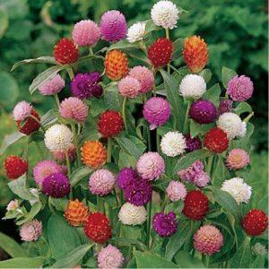 Gomphrena Mixed Flower Seeds