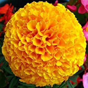 African Marigold Orange Flower Seeds