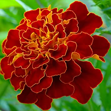 Marigold French Red Brocade Flower Seeds