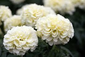 Marigold Kilimanjaro White Flower Seeds