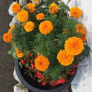Marigold Pusa Navrangi Flower Seeds