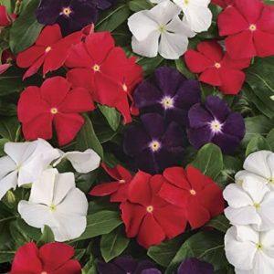 Vinca Rosea Dwarf Mixed Flower Seeds