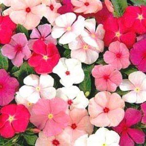 Vinca Rosea Dwarf Mixed Flower Seeds, Vinca Rosea Flower Seeds, Vinca Rosea Dwarf Mixed Seeds