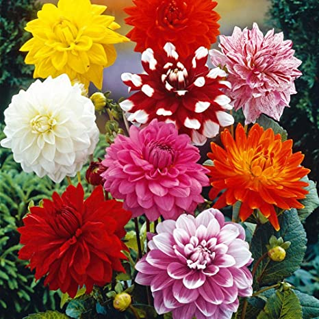 Dahlia Top Star Mixed Flower Seeds