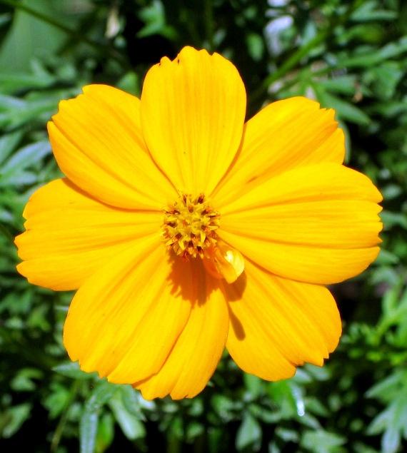 Cosmos Bright lights Flower Seeds