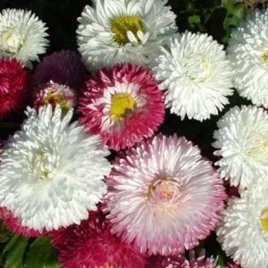 Daisy Bellies Monstrosa DBL Mix Flower Seeds
