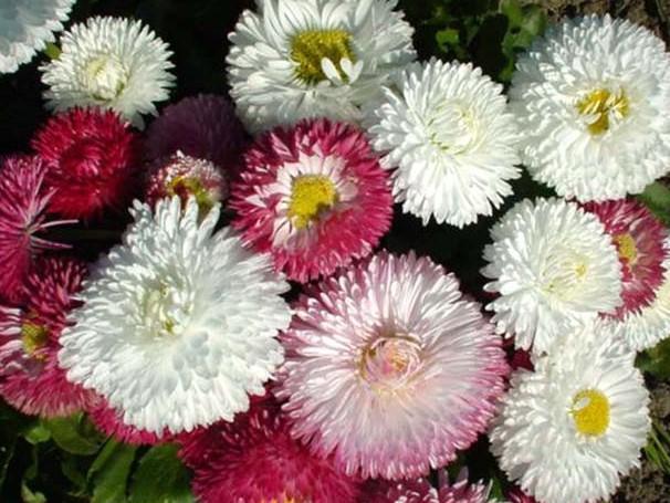 Daisy Bellies Monstrosa DBL Mix Flower Seeds
