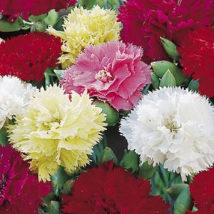 Dianthus Chabaud Mix Flower Seeds