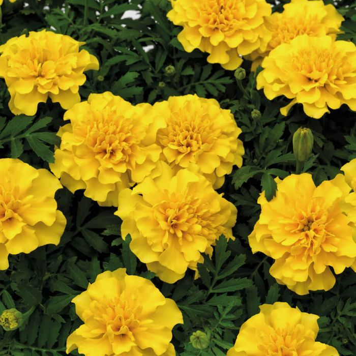 French Marigold Yellow Flower Seeds