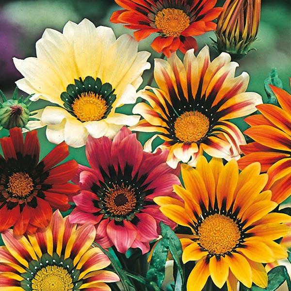 Gazania Sunshine Mixed Flower Seeds