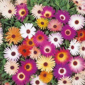 Mesembryanthemum Mixed Flower Seeds